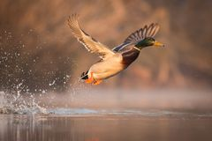 Close up flying Mallard. Anas platyrhynchos, nice bird in the nature habitat, with reflection in the water, action scene from nature, europe, czech republic Royalty Free Stock Images