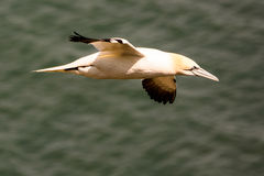 Close up of a flying Northern Gannet. Close up of a Northern Gannet in flight Royalty Free Stock Image