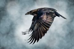 Raven flying. Close up of flying raven Royalty Free Stock Images