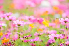 Close up fo Cosmos flowers with blur background in the garden. Royalty Free Stock Photos