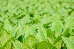 Close up fo green tobacco field with blur background. Stock Photos
