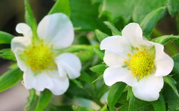 Strawberry flowers Stock Image