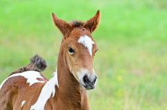 Close up foal with brown and white. In the meadow, Thailand Stock Images