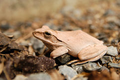 Close up and focus Shrub frog, Polypedates leucomystax, Tree frog / type of fog in nature Royalty Free Stock Image