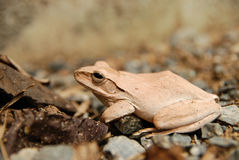 Close up and focus Shrub frog, Polypedates leucomystax, Tree frog / type of fog in nature Stock Image