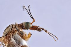 Close up Focus Stacking - Large Crane-fly, Crane fly, Giant Cranefly, Tipula maxima. Photo royalty free stock photography