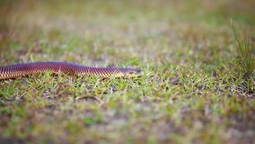 Close up focusing on small snake slithering through grass