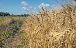 Close-up of folden wheat ears royalty free stock photo