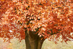 Close Up Of Foliage On Autumn Tree Stock Image