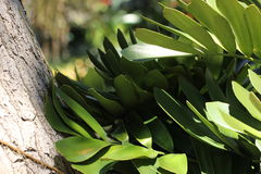Close up of foliage of Zamia furfuracea Royalty Free Stock Images