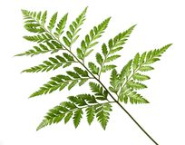 Foot fern Stock Images
