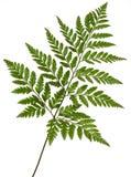 Foot fern Royalty Free Stock Photo