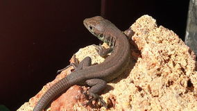 Close up footage of a common lizard stock footage