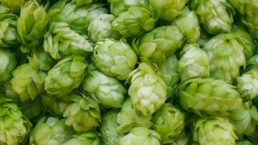 Close-up footage of fresh green hop cones. stock video