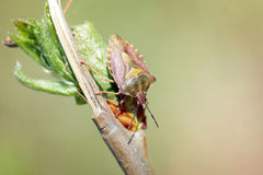 Close up of forest beetle on a branch Stock Photography