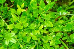Close up. Forest Glade. Green leaves of a bilberries blueberries bush, wet from rain royalty free stock photography