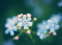 Close up of Forget-me-not flower Stock Image
