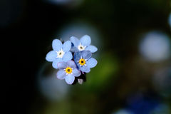 Close-up forget me not. Love Stock Image