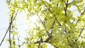 Close up of forsythia with sun behind stock footage