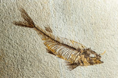Close up Fossil fish Royalty Free Stock Images