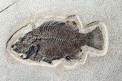 Close up Fossil fish Stock Photos