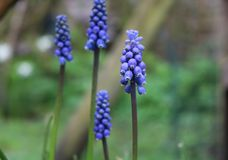 Upright true blue grape hyacinths. Close up of four heads of the bluest flowers to be found in a Spring garden. The blue grape hyacinth showing close up detail Stock Photo
