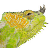Close-up of Four-horned Chameleon Stock Images