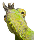 Close-up of Four-horned Chameleon Stock Photo