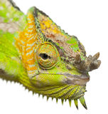 Close-up of Four-horned Chameleon Stock Photos