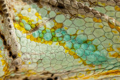 Close up of Four-horned Chameleon skin background Royalty Free Stock Images