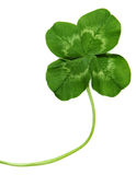 Close Up Of Four Leaf Clover Stock Photography