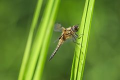 Close-up of a four-spotted chaser dragonfly insect, Libellula quadrimaculata. Close-up of a four-spotted chaser Libellula quadrimaculata or four-spotted skimmer stock photography