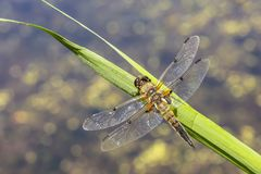 Close-up of a four-spotted chaser dragonfly insect, Libellula quadrimaculata. Close-up of a four-spotted chaser Libellula quadrimaculata or four-spotted skimmer royalty free stock images