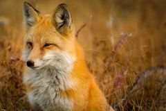 Close-up of Fox on Grass Royalty Free Stock Images