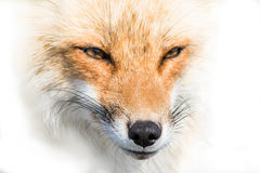 Close up fox Stock Images