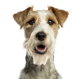 Close-up of a Fox terrier facing, panting, isolated Stock Images