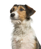 Close-up of a Fox Terrier looking up, 1 year old Stock Photo