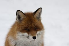 Fox head. Close up of foxes head royalty free stock images