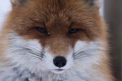Fox head. Close up of foxes head Stock Photo