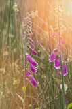Close- up of foxglove bells flowers in a field. Royalty Free Stock Images