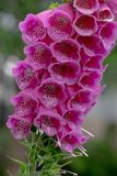 Close up of foxglove / digitalis purpurea plant, photographed in the garden of the Royal College of Physicians, London UK. Photographed during Open Garden stock photos