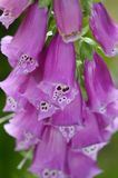 Close-up foxglove - Digitalis purpurea. Stock Photo