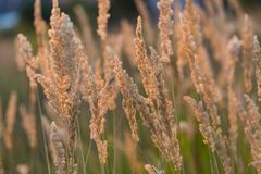 Close up of foxtail grass flowers Stock Images