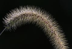 Foxtail Weed head. A close up of a Foxtail weed head against a black background stock photo