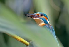 Close up fragment of head and shoulders of common kingfisher. Hide behind of green reed royalty free stock photography