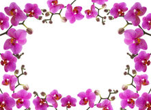 close-up frame of a beautiful orchid on white ba Royalty Free Stock Photo