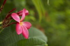 Close-Up Of Frangipani Blooming Outdoors stock photo