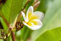 Close up of a frangipani stock images