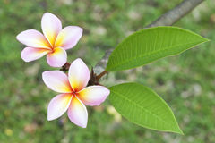 Frangipani Flower Royalty Free Stock Photos