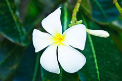 Close up of frangipani flower or Leelawadee flower Royalty Free Stock Image